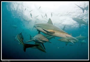 Oceanic blacktips... by Dray Van Beeck 